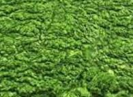 پاورپوینت جلبک ها و بررسی کاربرد آنها